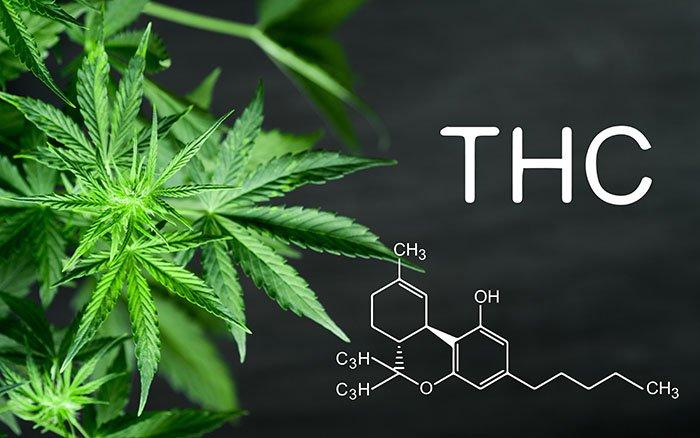 Forscher züchten Hefe, die erfolgreich THC produziert