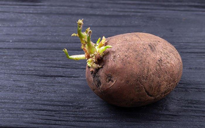 Gekeimte Kartoffeln - Essbar oder gesundheitsschädlich?