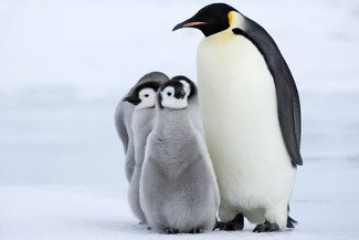 Die Körpergröße verschiedener Arten von Pinguinen nimmt in kälteren Regionen zu.