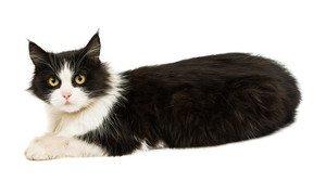 Gendefekt: Darum sehen so viele Katzen aus wie Hitler