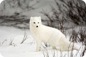 Der Polarfuchs (Vulpes lagopus) verfügt lediglich über sehr kurze Körperfortsätze.